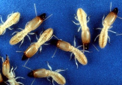 Facts about Termites - Eastern Subterranean Termite