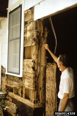 Extensive Termite Damage