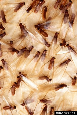 Termite Swarmers on Sticky Trap