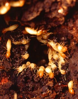 Nest of Formosan subterranean termites (Coptotermes formosanus)