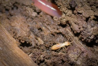 Subterranean Termite (Rhinotermitidae)