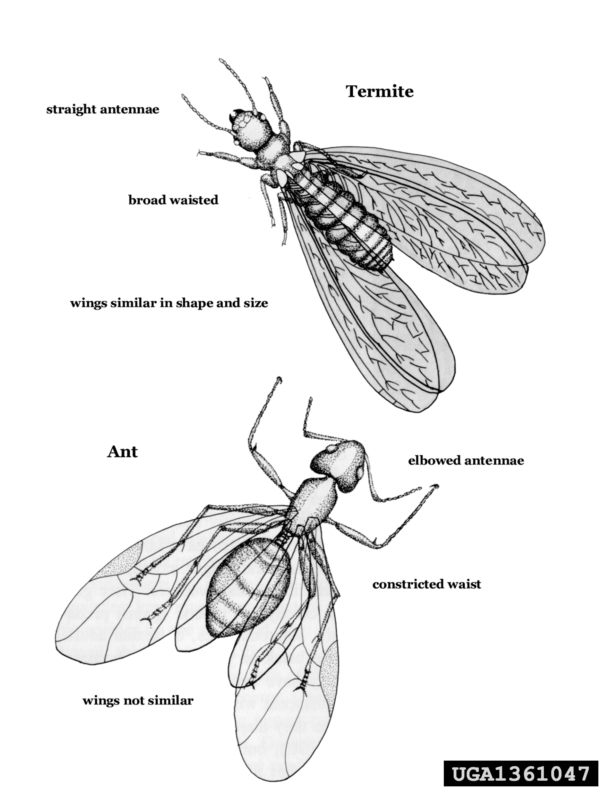 Swarmers Termites: Termite Soldier Vs Ant