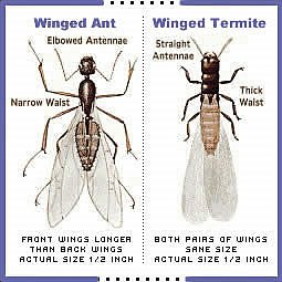 Carpenter Ant Control - Winged Ant vs. Winged Termite